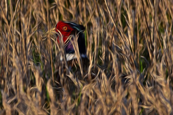 image of pheasant